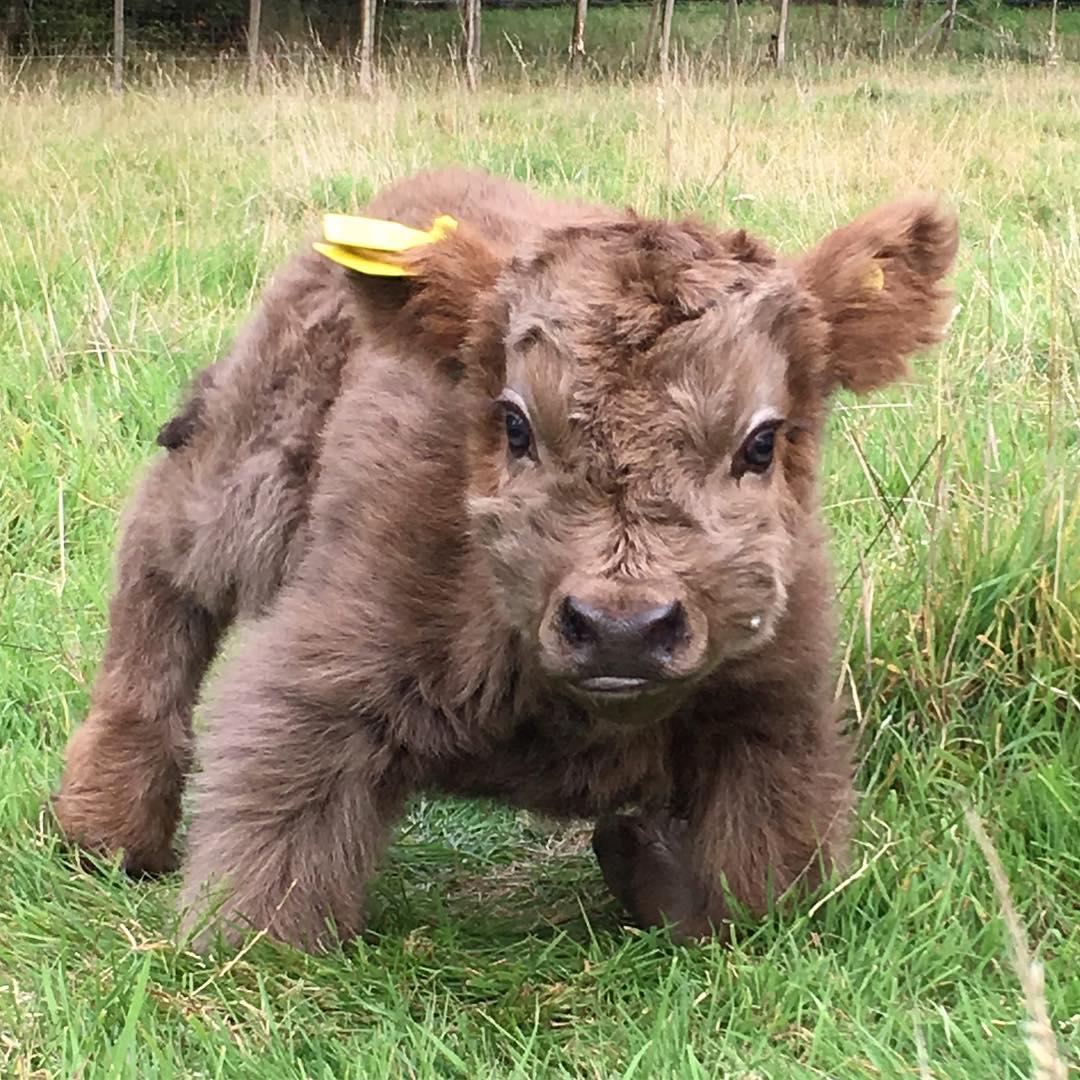 """Écosse : Les veaux Highland sont trop """"cute"""" !"""