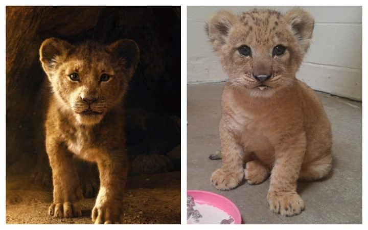 Découvrez Bahati, le lionceau qui a inspiré Simba dans le Roi Lion1