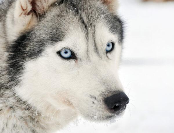 Ce husky ne veut pas que le confinement prenne fin et il va vous dire pourquoi !