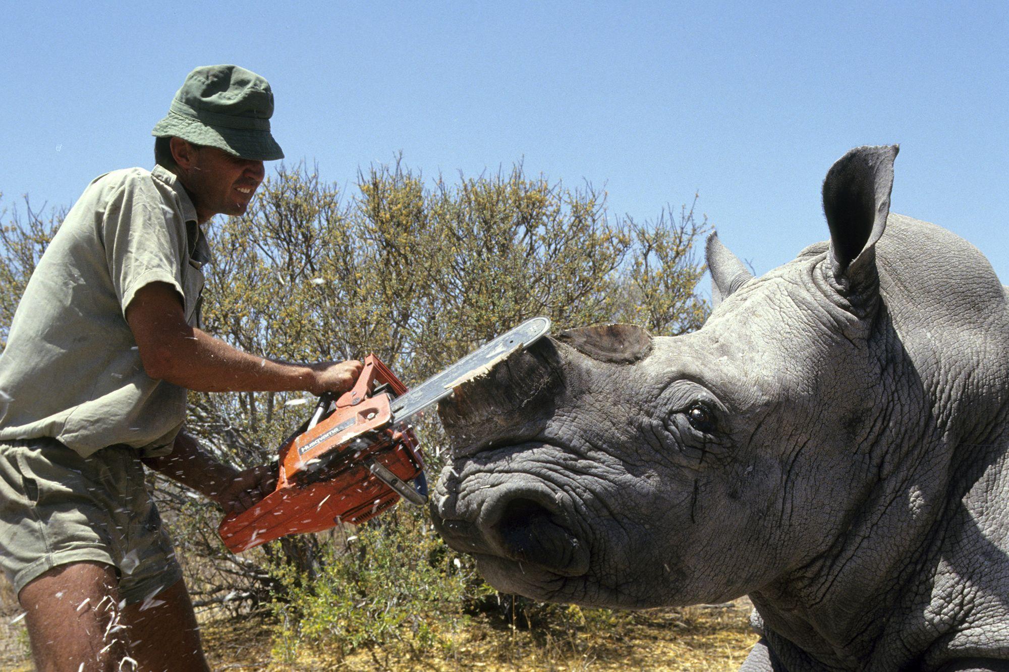 afrique-du-sud-des-rhinoceros-bientot-rendus-radioactifs-pour-eviter-le-braconnage